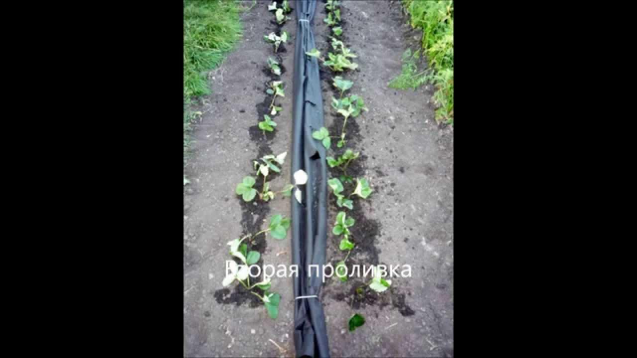 Какой стороной стелить спанбонд черный на клубнику
