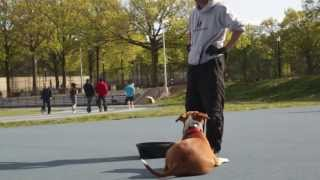Practice Makes Perfect Dog Training Queens Ny - Bullet The Pit Bull - Down/stay Real Time Exercise