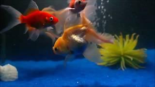 Blue sand  goldfish aquarium