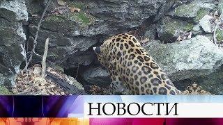 В Приморье на территории заповедника Кедровая Падь обнаружен редчайший дальневосточный леопард.