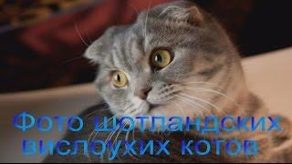 Фото шотландских вислоухих котов