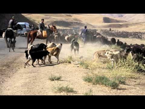 A dogfight between Tajik shepherd dogs from two different flocks