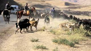 A dogfight between Tajik shepherdbdogs from two different flocks
