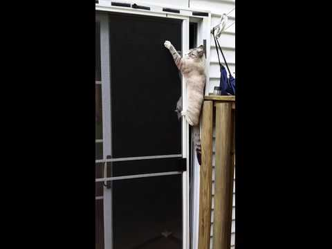 Cat Climbs Screen Door, Opens Door, and Escapes