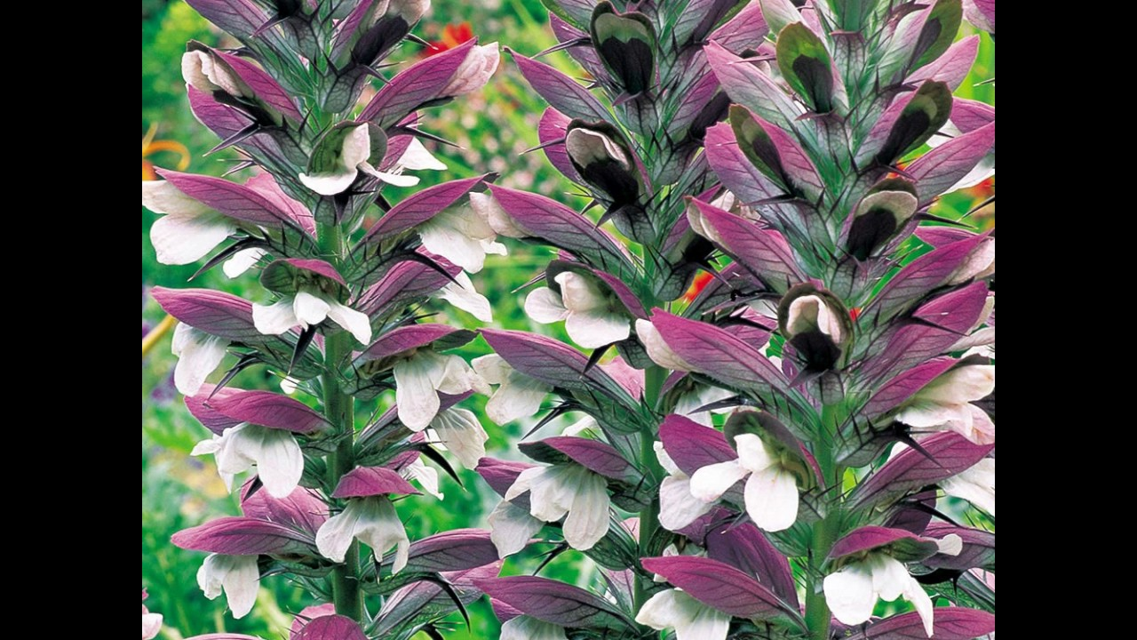 National Flower Of Greece φυτό στρειδιών Youtube