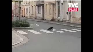 Крыса против кошки