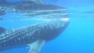 whale shark cancun mexico