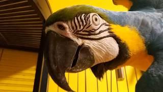 Попугай ара помогает чистить клетку волнистых попугаев