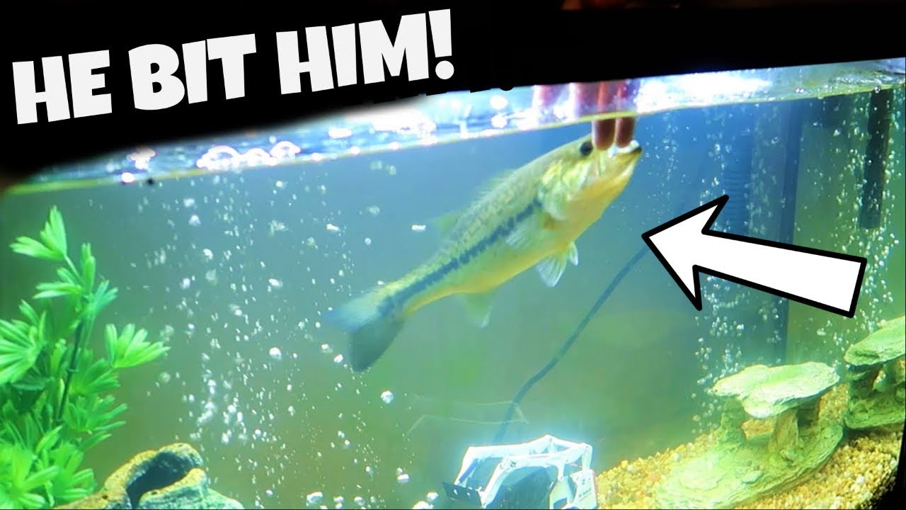my-pet-bass-attacked-julius