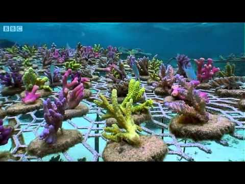 Coral Gardening | South Pacific | BBC Earth