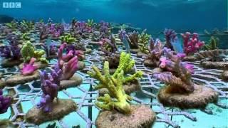 Coral Gardening - Benedict Cumberbatch narrates South Pacific - BBC