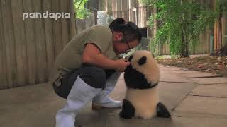 keeper encourages the panda cub to walk