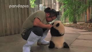 ほらガンバれ!最初の一歩までもう少し。赤ちゃんパンダを励ます飼育員さんたち