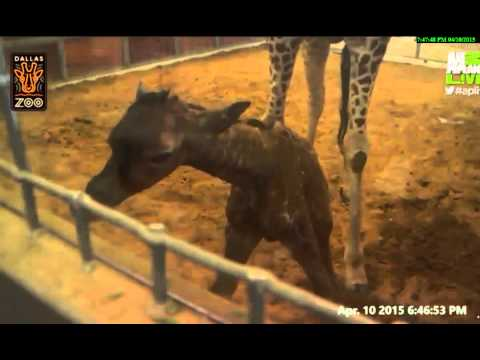 Thumbnail: Dallas Zoo Katie gives birth to her baby 4-10-15