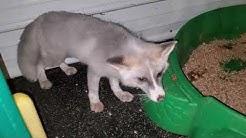 Winter the Fox Talks - SaveAFox Rescue