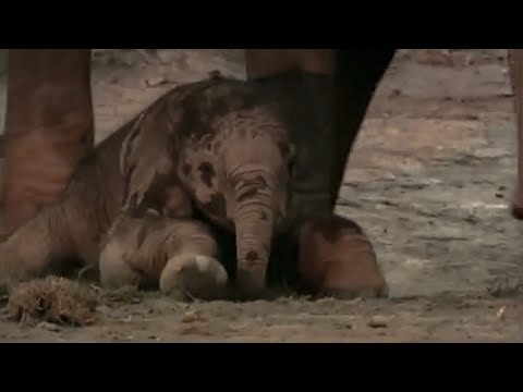 Elephant calf: Wildlife Specials: Elephant - Spy in the Herd