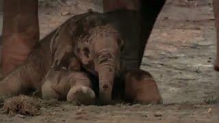 Elephant calf: Wildlife Specials: Elephant - Spy in the Herd