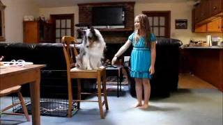 Blue Merle Sheltie Dog Tricks With Patch & His Girl Rachel