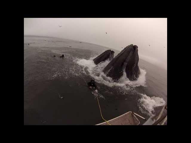 Whales almost eat Divers (Original Version)