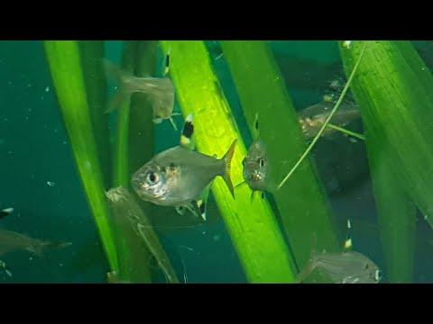Pristella Tetras (maxillaris) And  Little Fish Store Tour