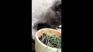 Кот готов есть овес пророщенный даже с землёй