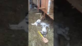 Видео 18+. Последствие визита бродячих собак в частный дом   / www.krasnoturinsk.info