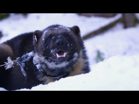 Wolverine's Super Sense of Smell - Animal Super Senses - BBC