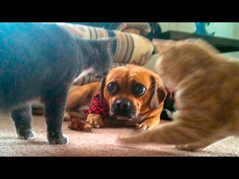 🤣 Funny Cats 😻 And Dogs 🐶 Videos - Animals From Tik Tok - 😹 Try Not To Laugh Pets