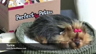Perfect Petzzz : Yorkie