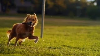 Golden Retriever Mix Gets Some Evening Exercise | The Daily Puppy