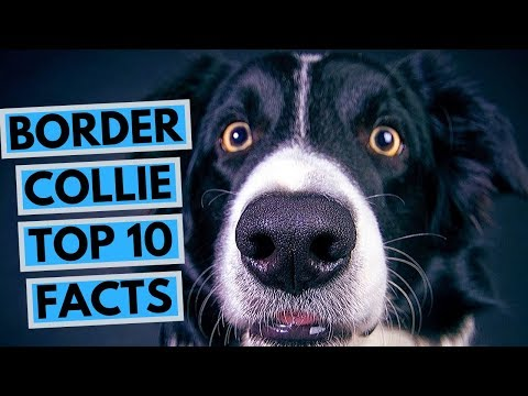 Border Collie - TOP 10 Interesting Facts