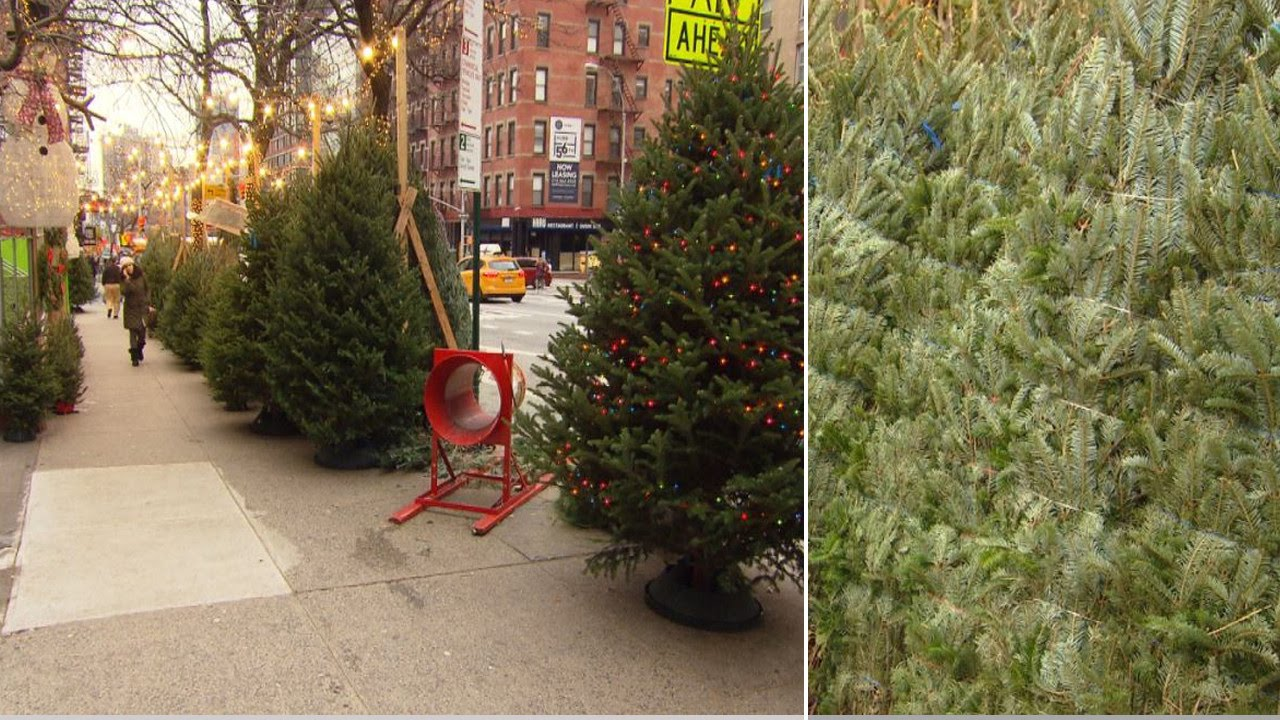 Christmas Tree In Nyc.Nyc Christmas Tree Vendor Charges 1 000 For Rare Holiday Firs