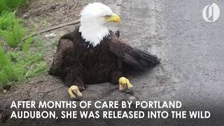Bald Eagle hit by car back in the wild with help from Portland Audubon