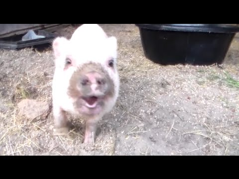 Smart pig can really talk !!!!