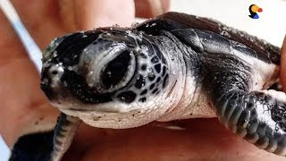 Sea Turtles Stranded By Hurricane Saved by Kind People   The Dodo thumbnail