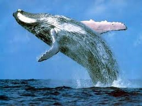 Mystery of blue whales fish tv5 youtube mystery of blue whales fish tv5 thecheapjerseys Choice Image