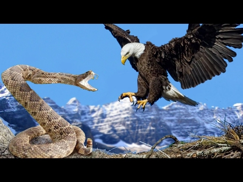 Birds Fighting- Funny Bird Fighting With Snake- Funny Bird Videos Fingting With Snake