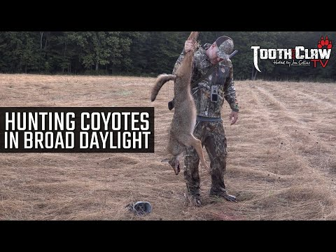Hunting Coyotes In Broad Daylight