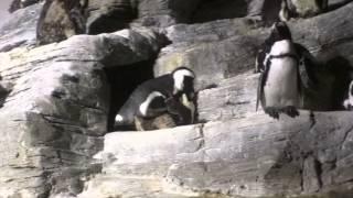 ペンギンの求愛と交尾を撮影した動画です。 ラッパを吹いたような大きな...