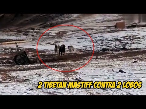 2 Mastín Tibetanos Versus 2 Lobos   Tibetan Mastiff vs Wolfs