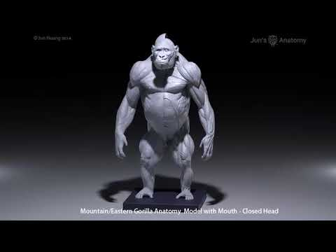 Gorilla Anatomy Model 16th Scale With Mountaineastern Mouth