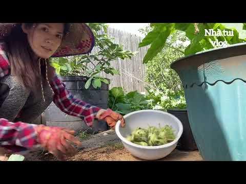 Người việt ở Mỹ sáng nay ra vườn mót một rổ su hào vào xào cho con ăn cơm, vườn rau việt, rau sạch