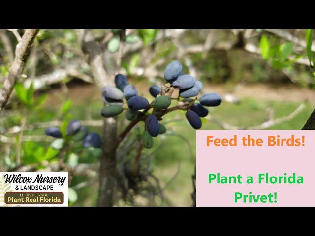 Florida Native Plants: The Florida Privet!
