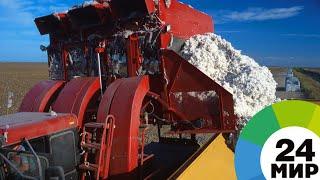 Богатые урожаи: Азербайджан доведет производство хлопка до 500 тысяч тонн - МИР 24