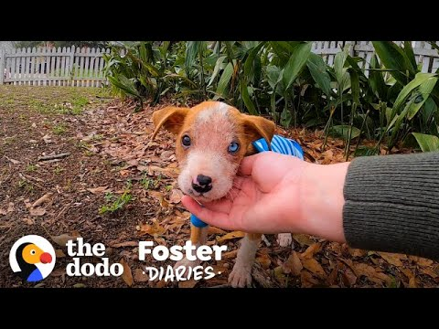 Pittie Puppy Found In A Box Gets So Big and Handsome | The Dodo Foster Diaries