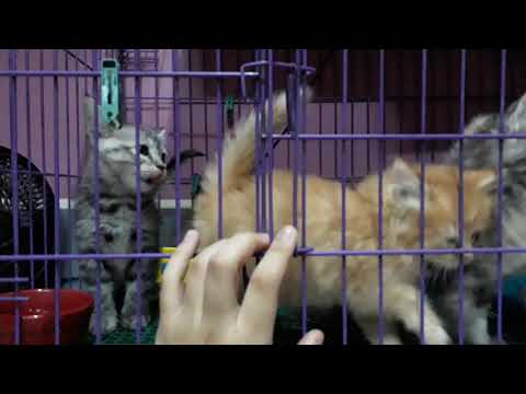 Persian Kitten For Sale Manila Philippines only