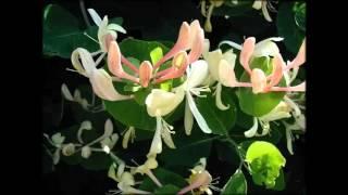 Лианы Комнатные Растения Фото И Названия