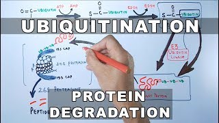 Ubiquitination of Proteins and Protein Degradation