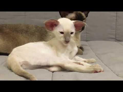 Giống mèo mặt quỷ đáng sợ Oriental Shorthair Luxury Cat
