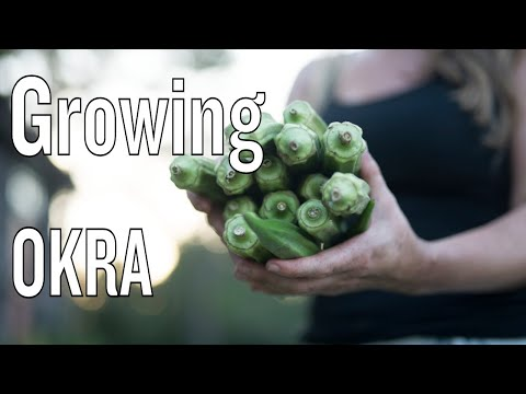 Growing Okra